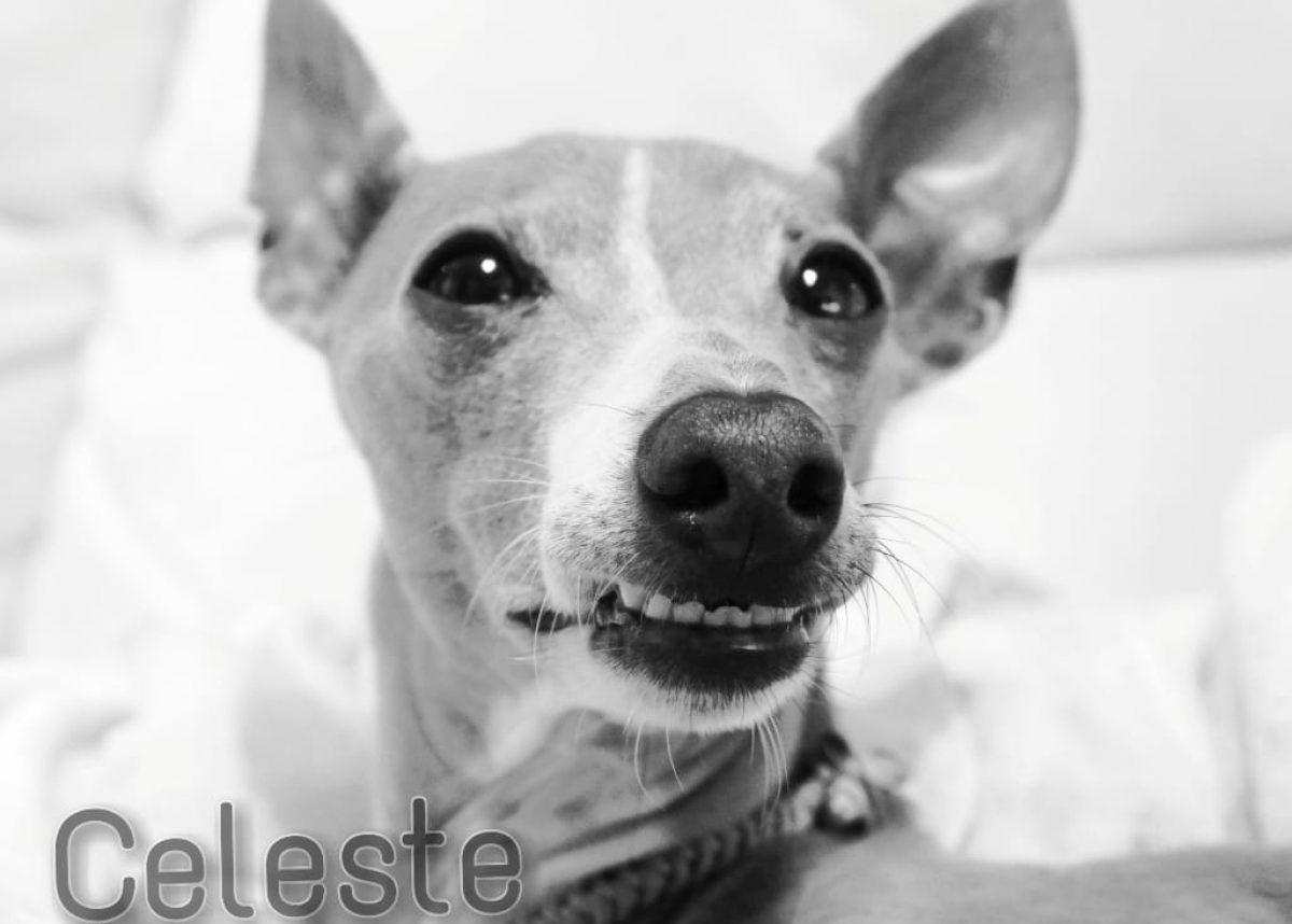 Celeste!! ~イタグレの男の仔チェレステの愉快な日常~